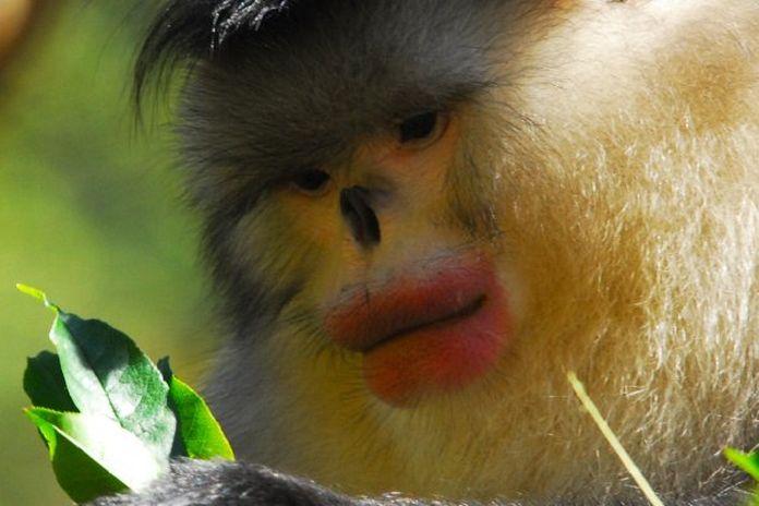 La Scimmia Maschio Si Mette Il Rossetto Per Sedurre Le Femmine
