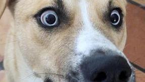 Il cane infernale dagli occhi di ghiaccio cerca casa, l'annuncio è divertente