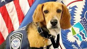 From abused dog to airport K9: here is the new life of the Beagle rescued from the road