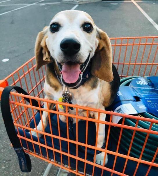 Wolfgang, il cane obeso che è diventato un modello per chiunque voglia perdere peso