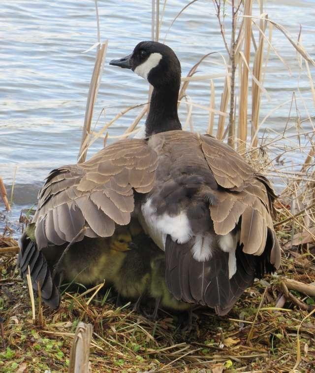 Una mamma oca si prende cura di 47 pulcini e li tiene al sicuro