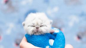 Aqui está o vovô, um gato que nasceu com um avô já parece mais maduro do que sua idade