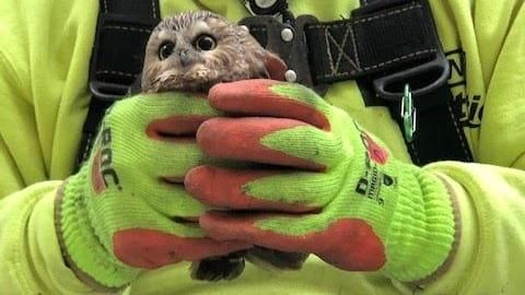 The fir felled for the New York Christmas tree was the home of an owl that survived the 270 kilometers of the transport