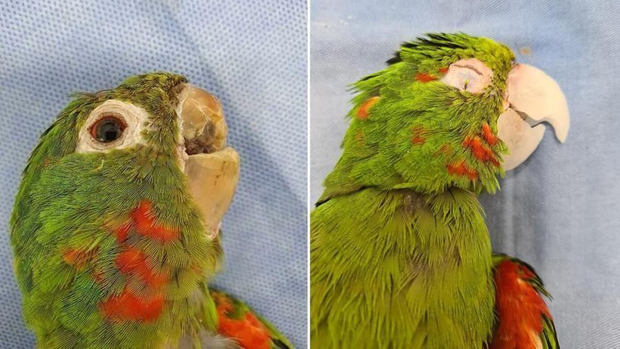 Lo straordinario intervento che ha restituito il becco a un pappagallo brasiliano
