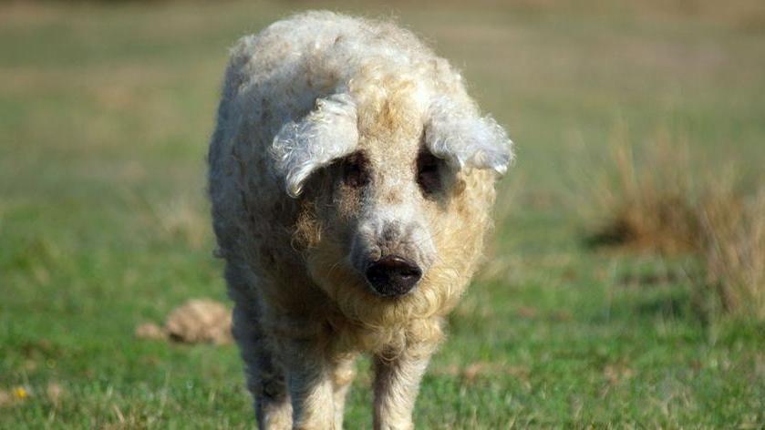 Sembra una pecora, si comporta come un cane ma in realtà è un maiale salvato da un macello