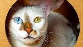 Rapaz, o gato com olhos diferentes e os pelos mais originais do mundo