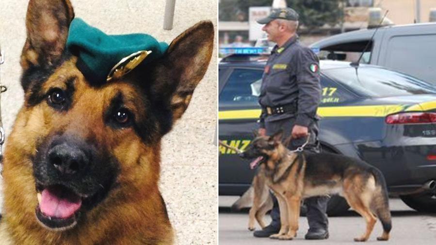Addio a Zatto, il cane antidroga della Gdf di Olbia: grazie al suo fiuto effettuati 50 arresti e sequestri per centinaia di chili