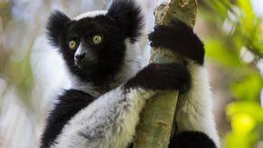 """Il """"canto dei lemuri"""" è musica vera: la scoperta dei ricercatori di Torino"""