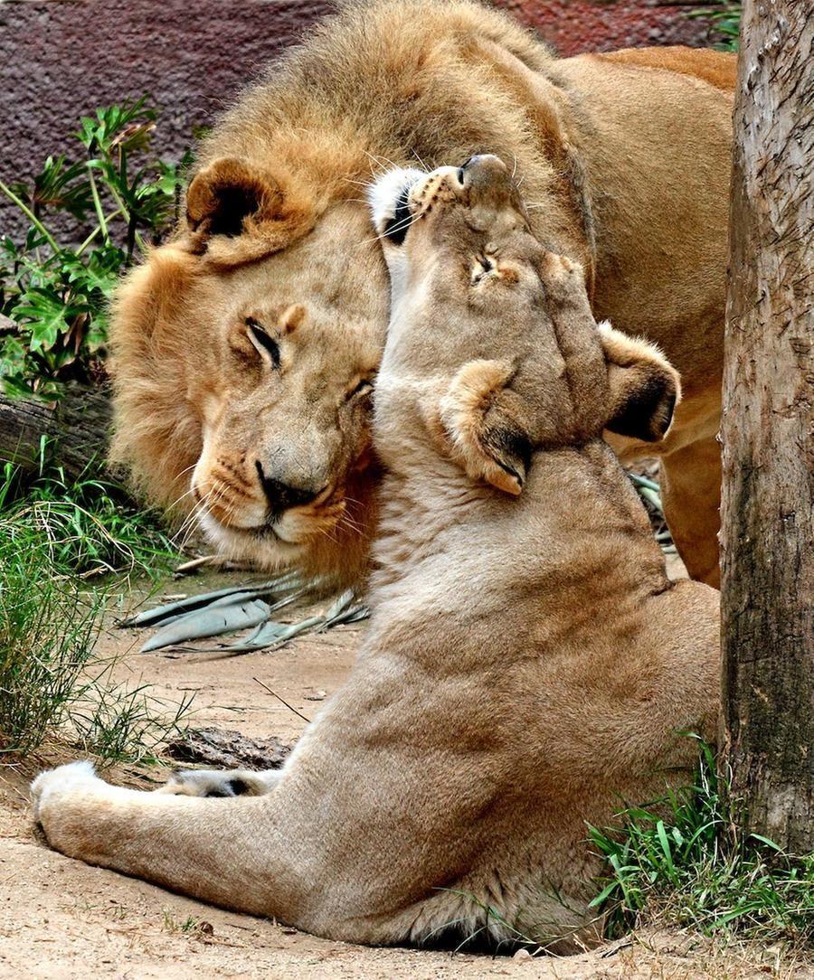 Coppia di leoni anziani inseparabili uccisi dallo zoo: non avrebbero potuto vivere da soli