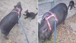 Passeggiata al parco e incontro con il gatto per il maialino Ozzy