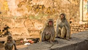 In India, mischievous monkeys steal tests from Covid patients, averting the risk of infection