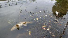 """""""Quei veleni hanno ucciso la roggia Paltrenga e quintali di pesci sono morti soffocati: trovate i colpevoli"""""""