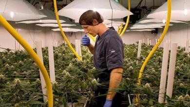 C'è un'altra arma nella guerra al Covid: la cannabis