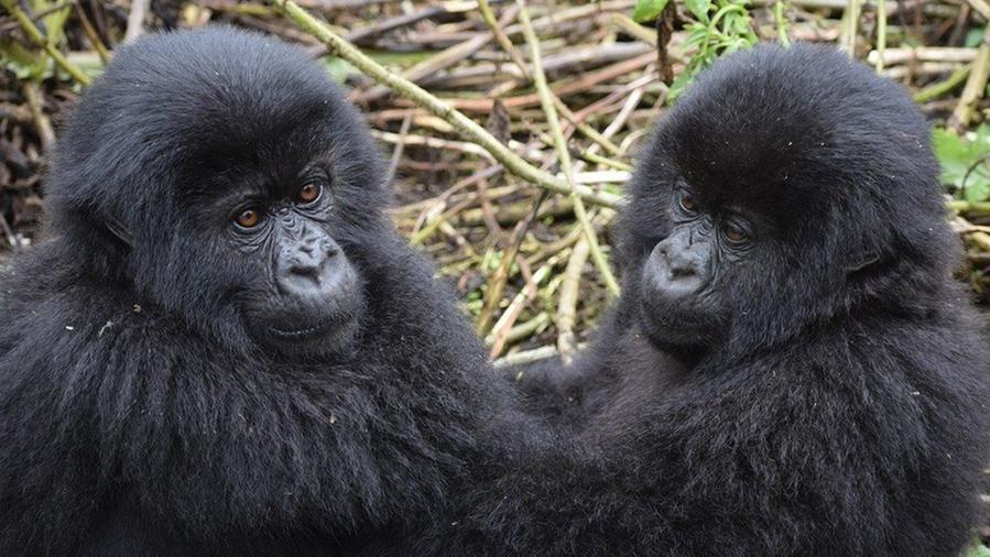 Una foto mostra due giovani gorilla che smantellano le trappole dei bracconieri che hanno ucciso un loro amico – La Stampa