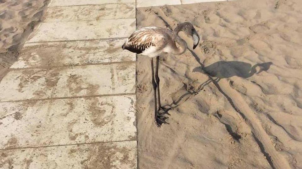 Fenicotteri In Spiaggia Boom Di Segnalazioni Tra Rimini E