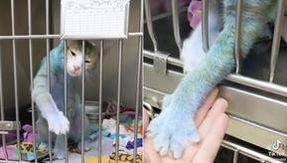 Smurf, il gatto blu dei puffi ha fatto innamorare milioni di persone. Ma il motivo non è il suo colore
