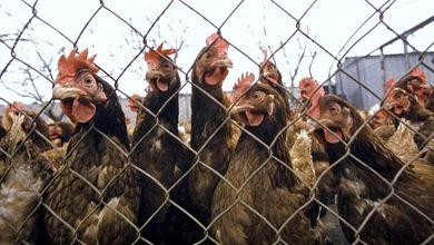 I numeri degli allevamenti intensivi di polli sono spaventosi