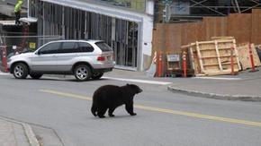 Alaska: una madre orso depressa da un aereo di atterraggio 737, ad eccezione di un cucciolo.  I passeggeri sono al sicuro
