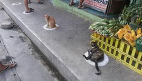 In the Philippines, cats also respect the social distancing imposed by the coronavirus