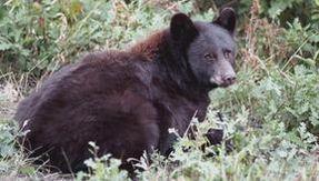 Avvistato in Trentino l'orso M49, ha distrutto la finestra di una baita
