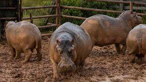 Colombia, 24 degli 80 ippopotami di Escobar sono stati sterilizzati