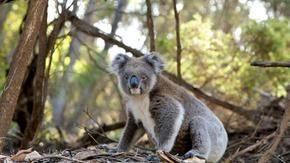 Dopo l'inferno in Australia, rimangono solo 35.000 koala, una riduzione del 72%