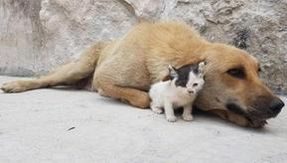 Orphaned cat rescued in Aleppo is adopted by a dog that has lost its puppies
