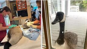 The love story between Arnold and Amelia: the female goose showed up alone in the veterinary clinic where her partner was hospitalized