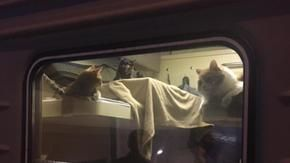 A Russian cat lover buys an entire train compartment to take them on vacation