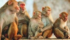 India, 60 monkeys found closed in bags, half dead poisoned and beaten: horrible discovery in Karnataka