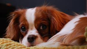 Troppa selezione, più rischi al cuore per il cane Cavalier King