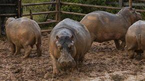 La Colombia ferma l'invasione degli ippopotami di Escobar, nel 1993 da una coppia  ne sono nati più di 80