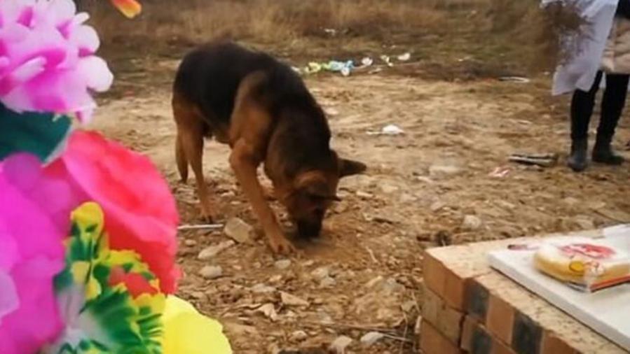 La commovente fedeltà del cane: cerca di scavare nel punto dove è stato sotterrato il proprietario defunto
