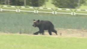 Tokyo 2020: porte chiuse a Fukushima, ma si aggira un orso bruno e parte la caccia all'animale