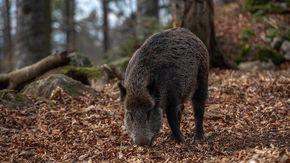 Spara a un cinghiale, l'animale ferito lo carica e gli recide la vena femorale. 74enne cacciatore grave in ospedale