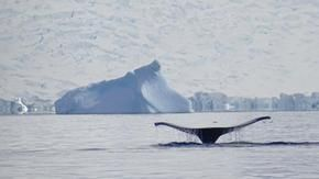 In Alaska no cruises and quieter oceans, the humpback whales thank