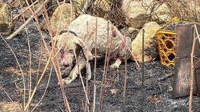 In Sardegna cane pastore non scappa di fronte alle fiamme per proteggere il gregge, salvato da un veterinario