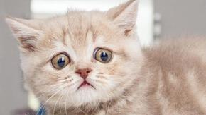 Un gatto con gli occhi ancora tristi ha dovuto viaggiare per il mondo per trovare la felicità