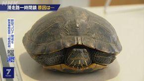 Una tartaruga blocca l'aeroporto di Tokyo: passeggiava sulla pista di decollo, cinque aerei in coda
