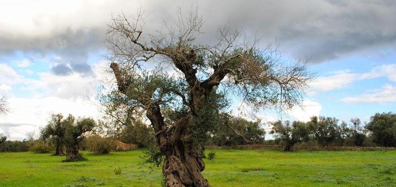 Mappa Xylella Puglia.La Strage Degli Ulivi E Un Batterio Fastidioso Di Nome Xylella La Stampa