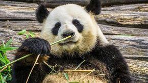 """Niente sesso per i panda troppo felici, è l'effetto """"Riccioli d'oro"""""""