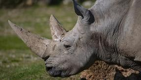 Farewell to Toby, the oldest rhino in the world has died in a zoological park
