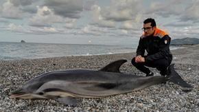 Delfino arenato a Messina, il biologo: