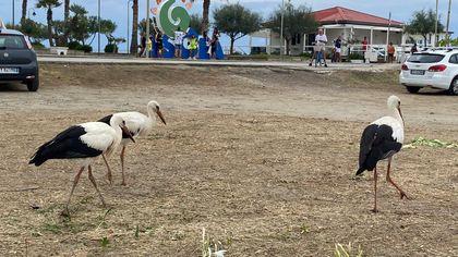 Cilento, ad Ascea arrivano le cicogne: sosta nella migrazione per l'Africa