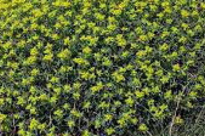 Arbusto Boschivo Dai Fiori Gialli.Liguria I Predatori Delle Piante Gialle La Repubblica
