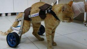 La nuova vita di Lucky, il gatto tornato a camminare grazie a un carrellino