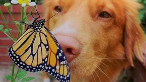 Ecco il dolcissimo Milo, il cane perdutamente innamorato delle farfalle monarca
