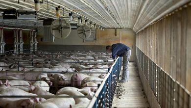 Gli allevamenti intensivi sono un disastro per l'ambiente e per la nostra salute