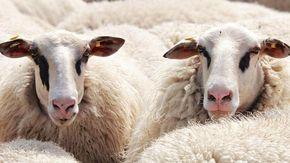 Il drone di un turista spaventa un gregge di pecore, 14 muoiono in un burrone. Il pastore lo distrugge e ora rischia una multa