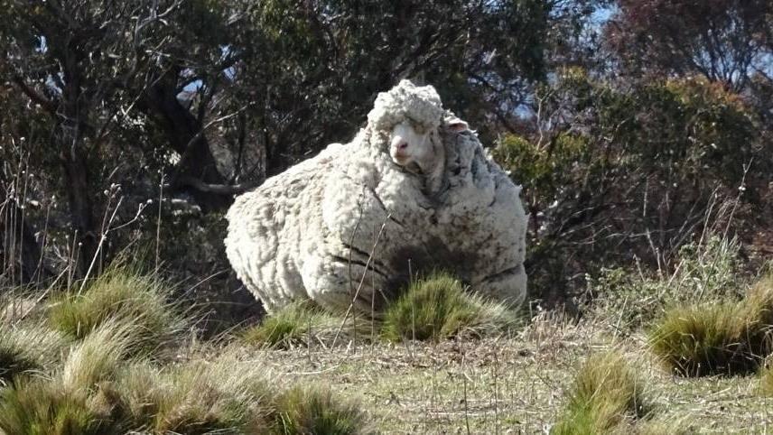 L'Australia dice addio a Chris, la pecora con il vello record